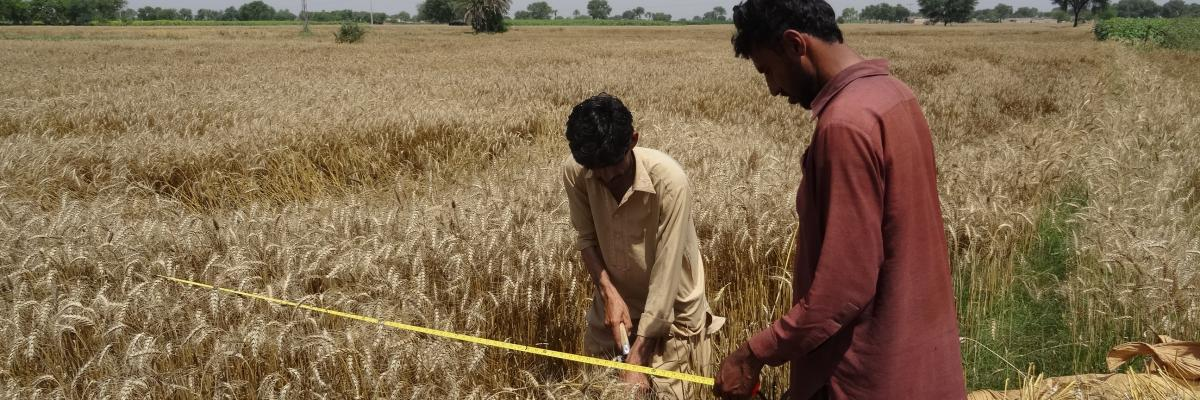 Yield and Production Estimation of Wheat for Punjab, Pakistan | Harvest