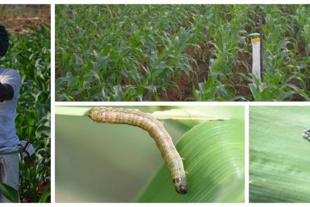 Fall armyworm system testing in Pune, India
