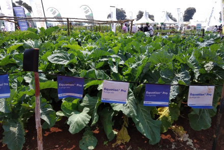 Image of sugarbeets in cultivation at the 2019 Field Day event